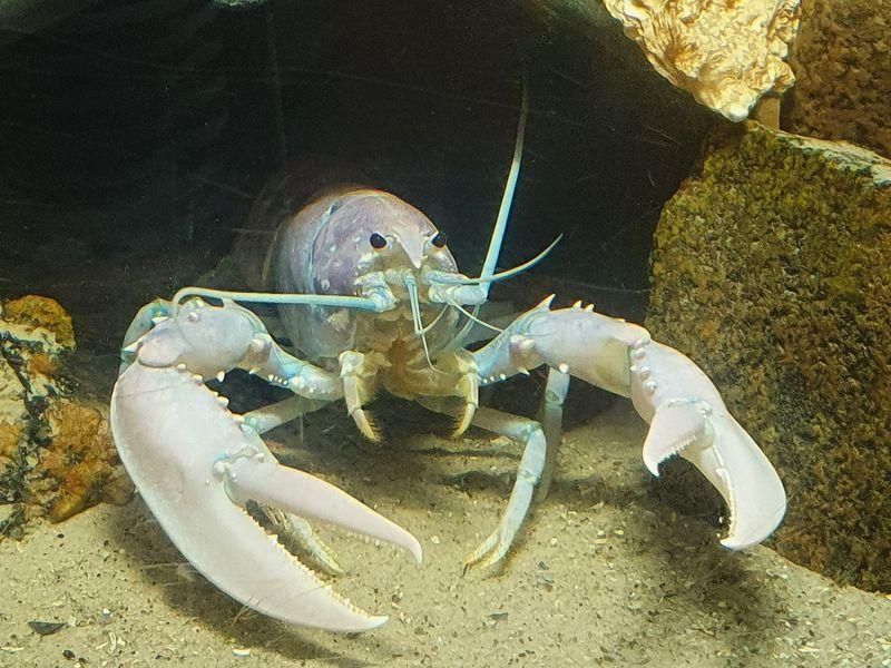lobster590DBEF1-31F2-D65B-5503-BFE93EF0351D.jpg